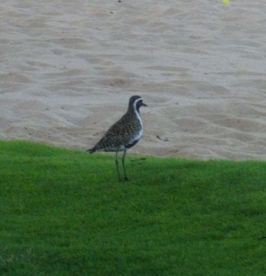 Kolea is the Hawaiian name for the Golden Plover, a sandpiper that migrates to Hawaii every winter.