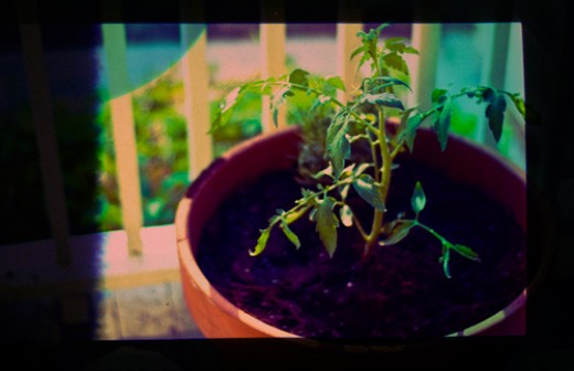 A properly nourished tomato plant - the soil is in good condition as well - both moist and rich in nutrients.
