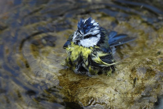 Water is essential for Birds, as it not only quenches their thirst. But also enables them to bathe and rid their feathers of parasites.