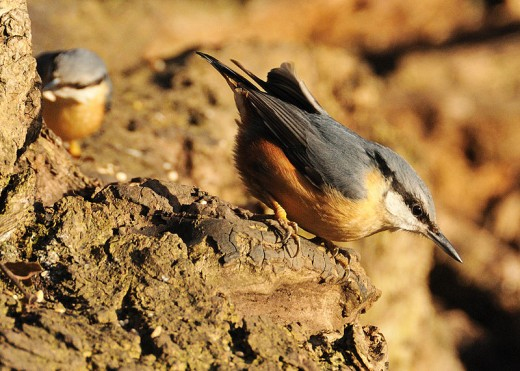 Nuthatches are one of many species of Bird that will hoard food to prepare for leaner times.