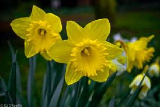 Daffodils are a sign you regard someone well.