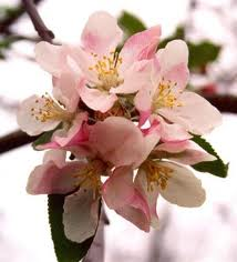 Apple blossoms? Well, if the message works for you, send them to your boss!