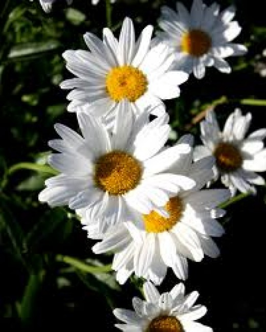 Daisies are the traditional flower of innocence.