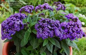 Are you devoted? The striking blooms of a Heliotrope will convey that message!