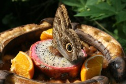 Butterflies Eating Fruit - A Photo Gallery