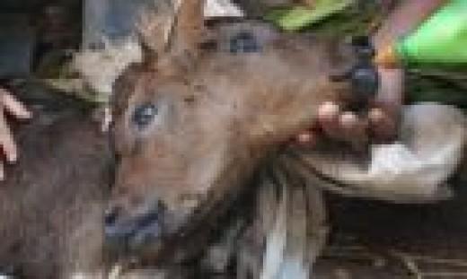 2 headed calf born in Egypt