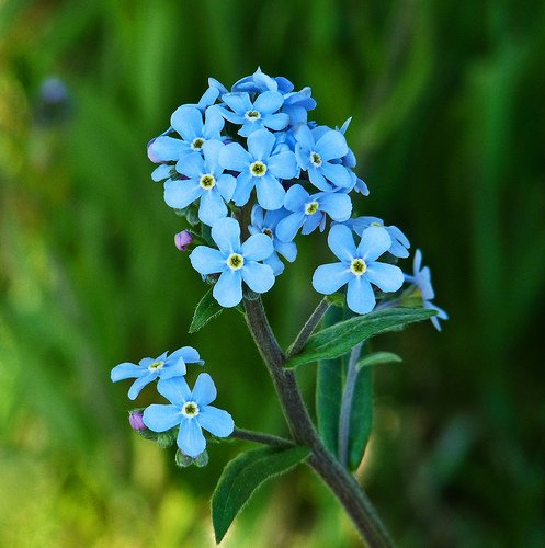 Forget-me-not from annkelliot Source: flickr.com
