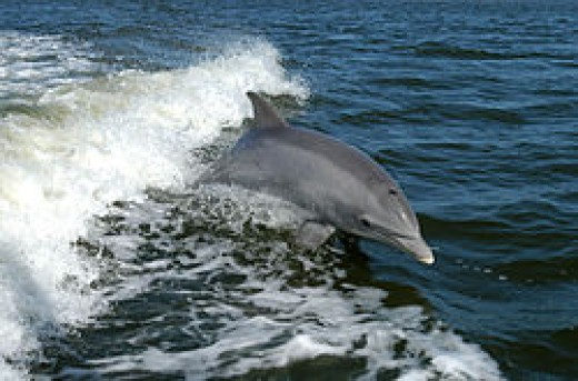 Bottlenose Dolphins are most widely distributed around the world