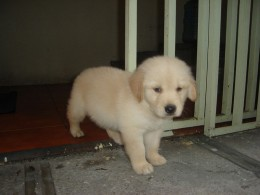 An Adorable Golden Retriever Puppy at 5 Weeks of Age
