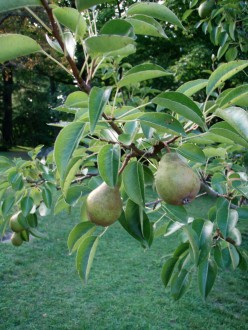 What To Make With Those Small Pears From Your New Bartlett Pear Tree? Why, Chutney, Of Course.
