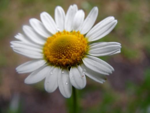 Chamomile Blossom