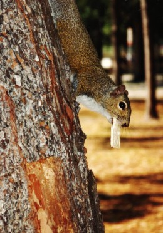 Squirrel with soda cracker in its mouth.