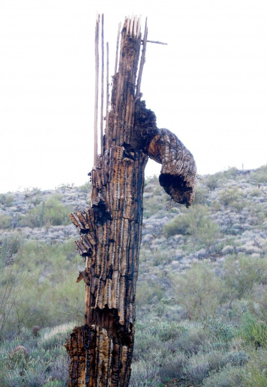 The blackened (charred?) and rotting remains of a once proud saguaro.