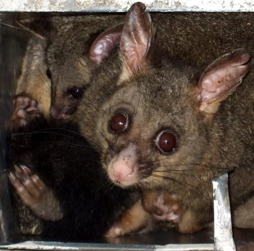 Mama Opossum and her Baby