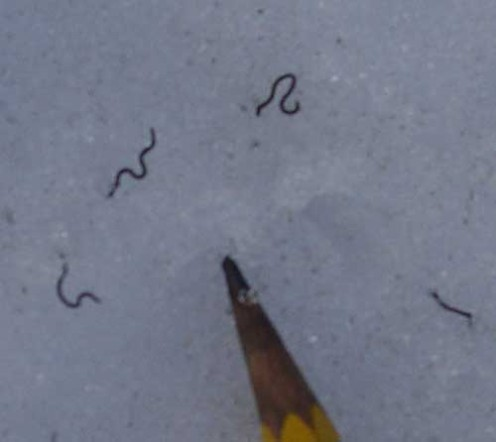 The black worms, approximately 1mm long