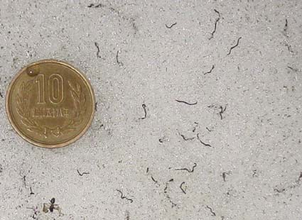 The ice worms in perspective next to a 10 yen coin, which is the same size as a nickel and a English penny