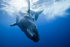 About Whales | Does Whale Sleep ? | Why Do Whales Sing ? | Where Does Humpback Whale Get Its Name ?
