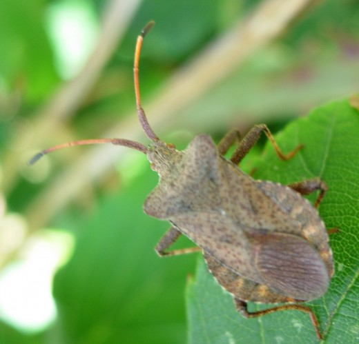Squash Bugs  and  Stink Bugs are kinfolk