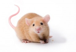 Helpful Tips on Caring for Pet Mice