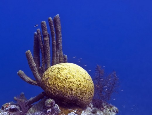 Coral found in Great Blue Hole