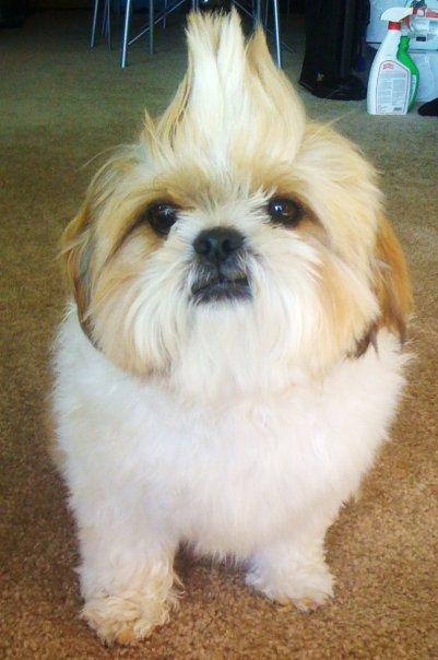 Maximus a cute dog