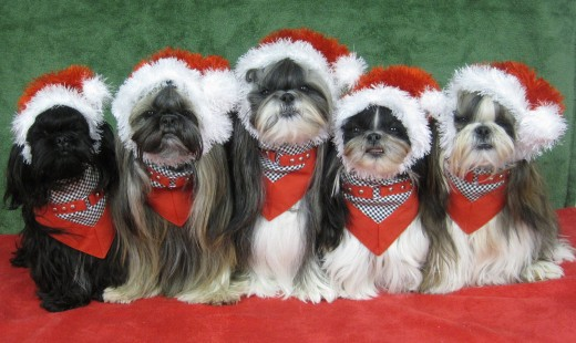 Cute Shih Tzu Dogs dressed up for Christmas