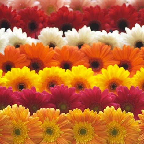 Gerbera daisy plants help to purify air and promote positive energy.