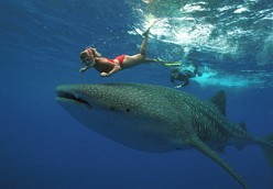 Whale Sharks - The Biggest Sharks in the World