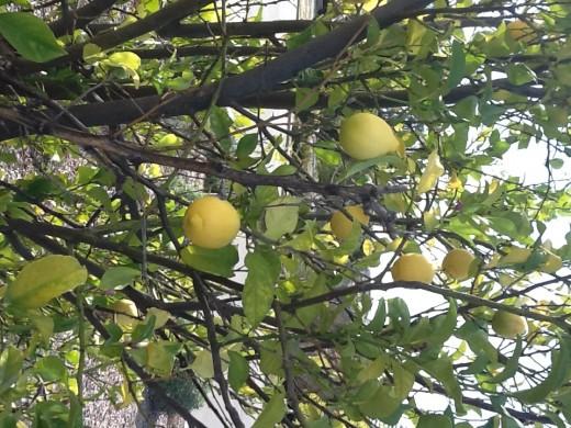 My lemon tree.