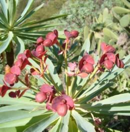 Euphorbia atropurpurea. Photo by Steve Andrews