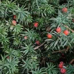 Taxanes (Docetaxel, Paclitaxel, Taxol) are derived from the Yew Tree