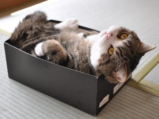 Maru lounging in a favorite box.