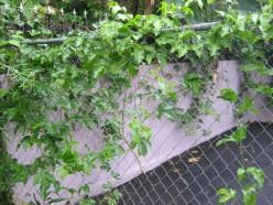 Passion fruit vines