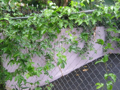 Passion fruit vines