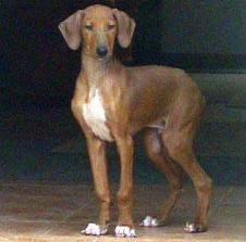 A young Azawakh pup