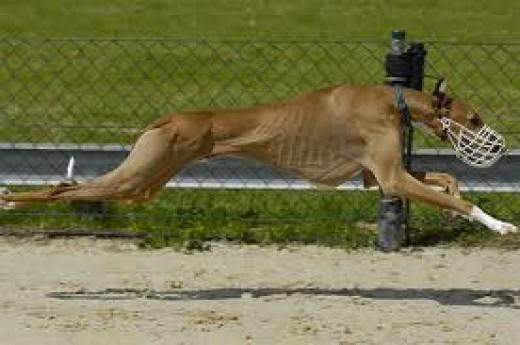 A racing Azawakh