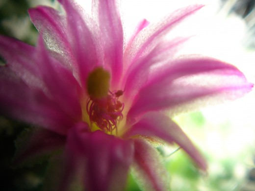 Believe it or not, with enough light you can get a beautiful bloom from a prickly cactus!