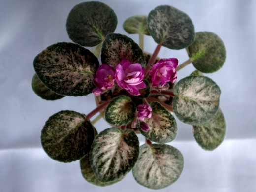 "African Violet leaves are very inexpensive and because there are over 20,000 varieties of African Violets, you are bound to fall in love with a few!  This one is called ""Rare Tapestry"""