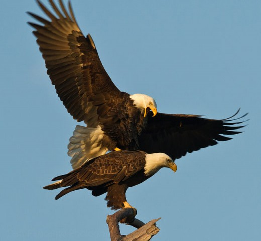 Male and Female Bald Eagles.   Picture by Dan Pancamo