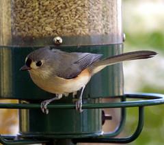 tufted titmouse on metal bird feeder perch