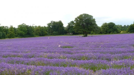 Mayfield Lavender farm, Woodmansterne, Surrey, England.