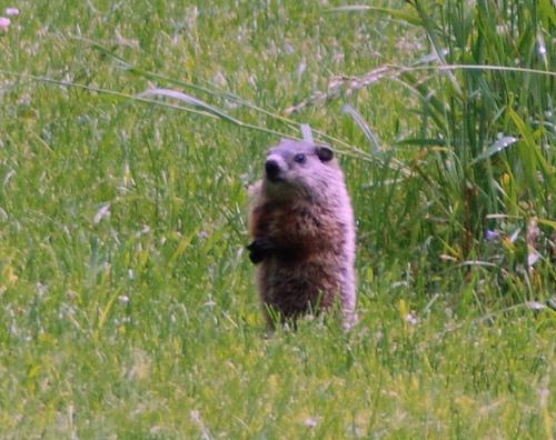 Woodchuck/Goundhog