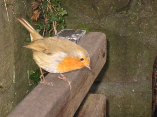 A friendly Robin.