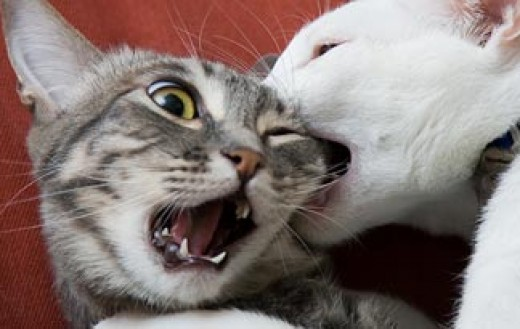 Cat fighting....OUCH!