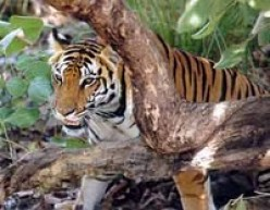 About The Tiger in India