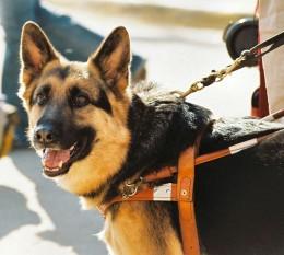 German Shepherd dogs are very versatile dogs