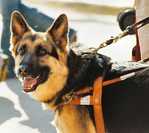 German Shepherd dogs are very versatile dogs