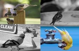 Thirsty birds in summer.