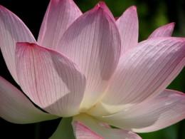 Lotus in full bloom, Aizuwakamatsu, Japan.