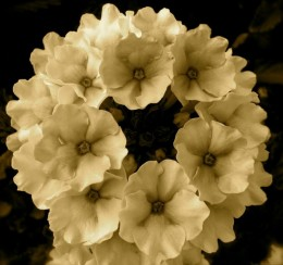 Sepia wax flower, Melbourne, Australia.